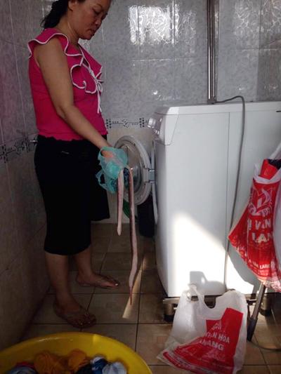 Phát hiện rắn hổ mang 2kg trong máy giặt